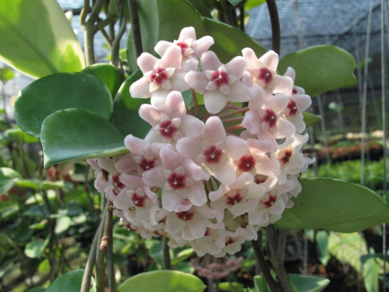 Hoya carnosa Snow Ball margin var. light pink