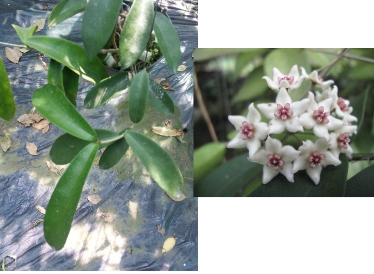 Hoya graveolens long leaf