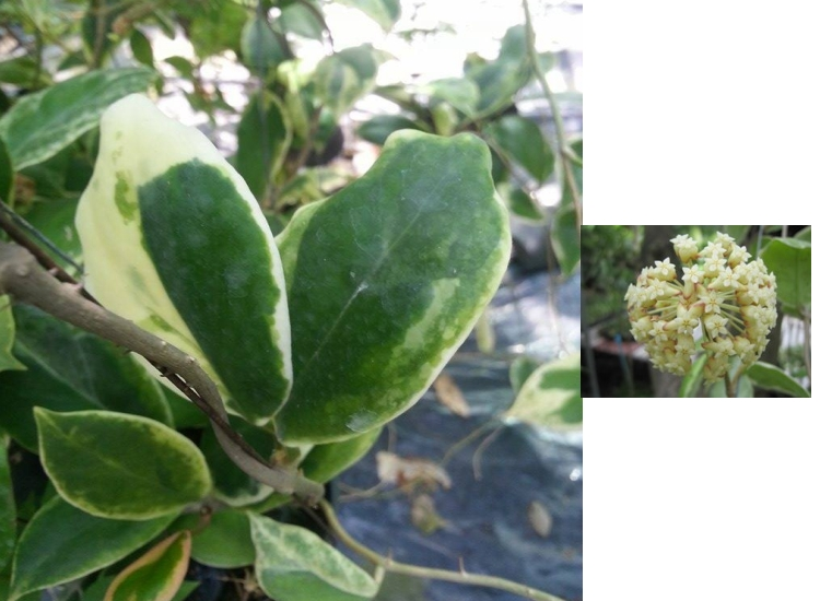 Hoya incrassata margin variegata