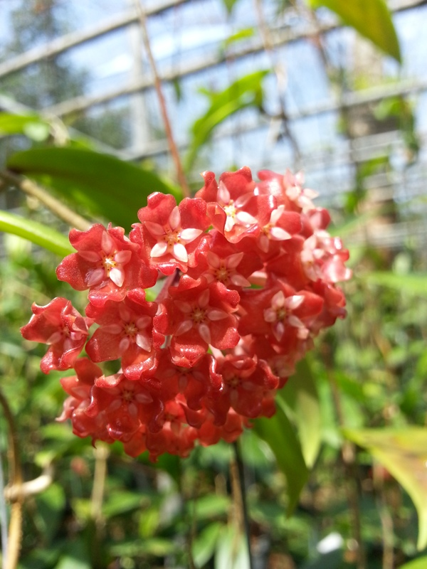 hOYA SARIAE RED FROM