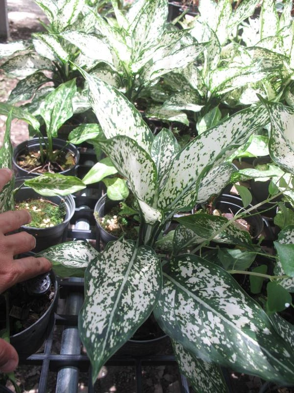 Aglaonema WHITE DIAMOND