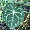 Anthurium crystallinum l