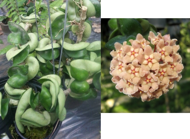"Hoya carnosa compacta ""Indian rope"""