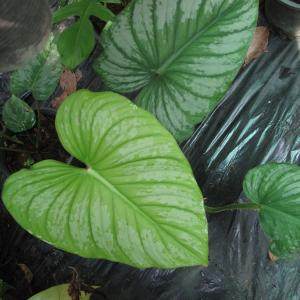 Philodendron mamei %uFEFF I